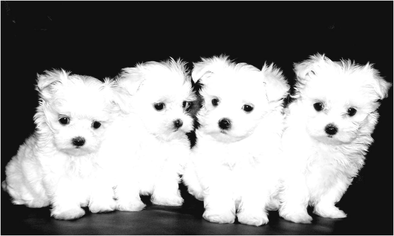 Maltese Puppies Prices