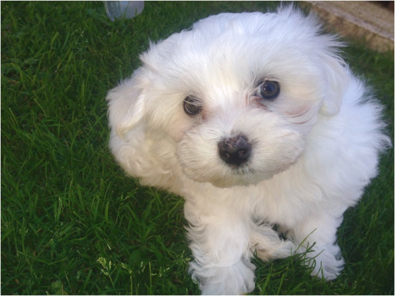Maltese Puppy For Free