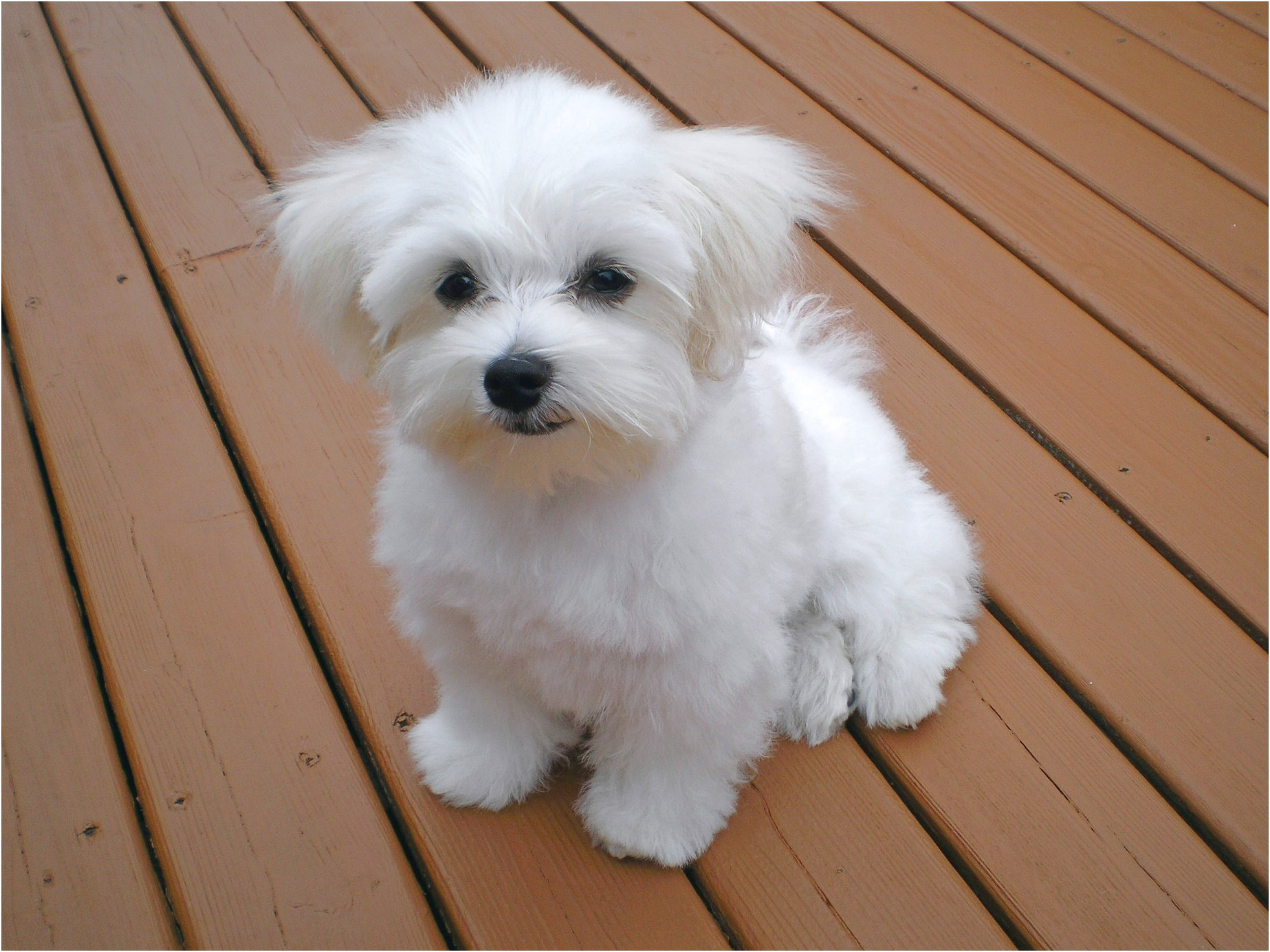 Maltese Puppys For Sale