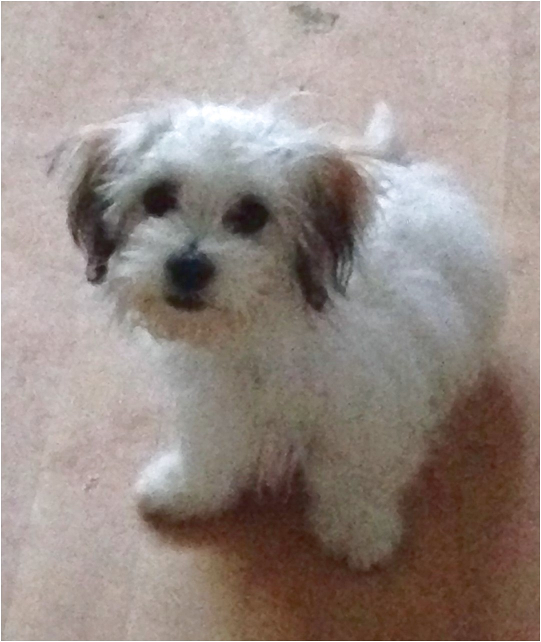 Maltese Shih Tzu Mix For Sale