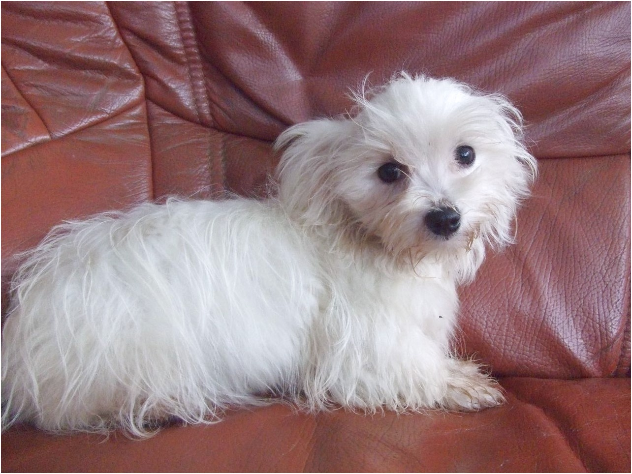 Maltese Terrier For Sale