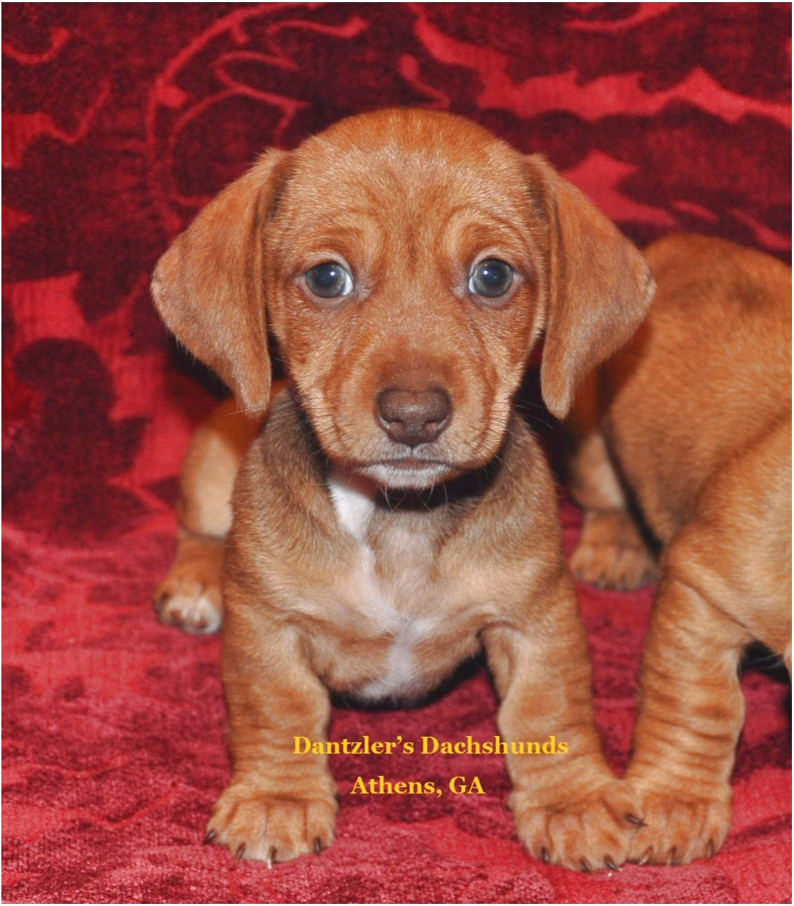 Miniature Dachshund Puppies For Sale In Ga