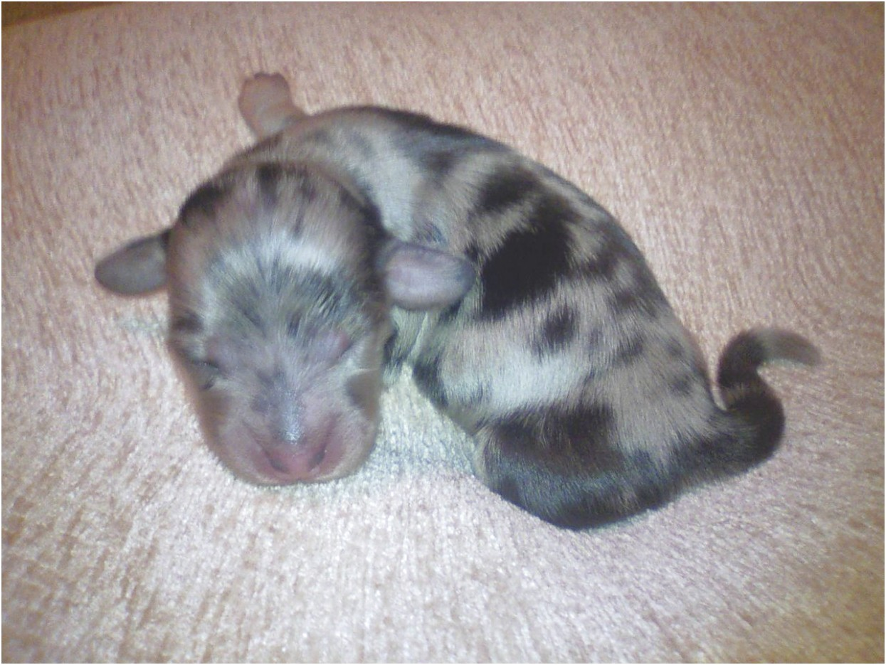 Miniature Dachshund Puppies For Sale In Nc