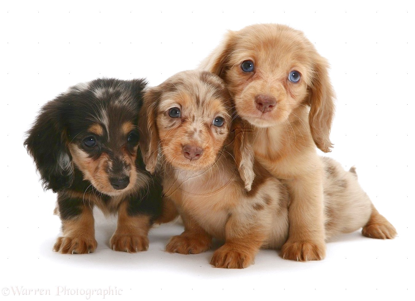 Miniature Long Haired Dachshund Puppies For Sale