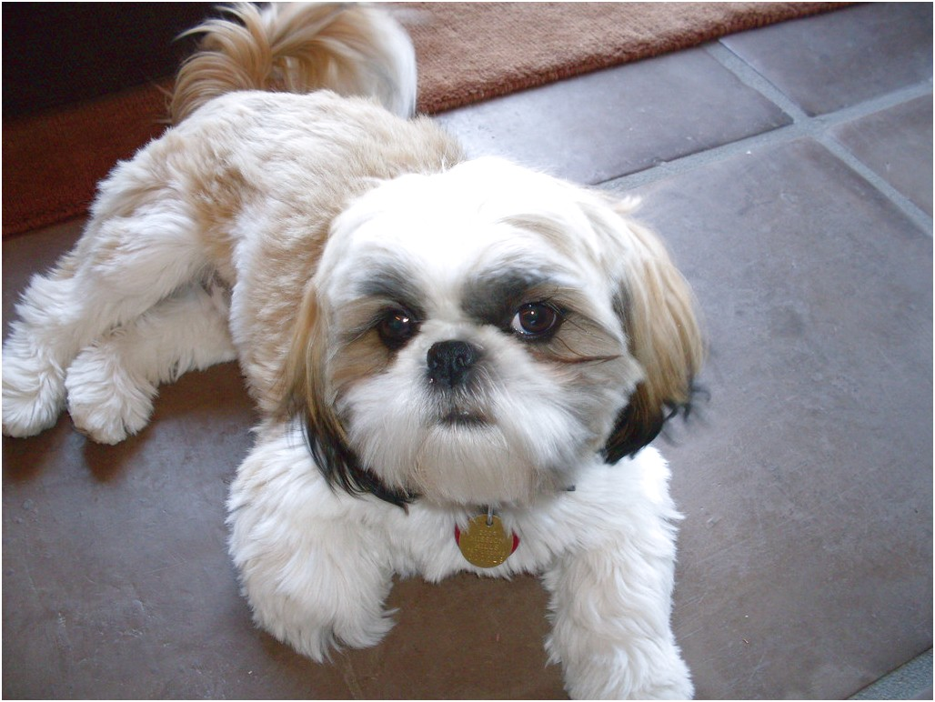 Muzzles For Shih Tzus