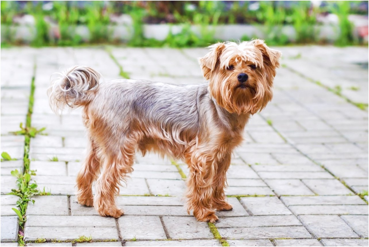 Pictures Of A Yorkshire Terrier