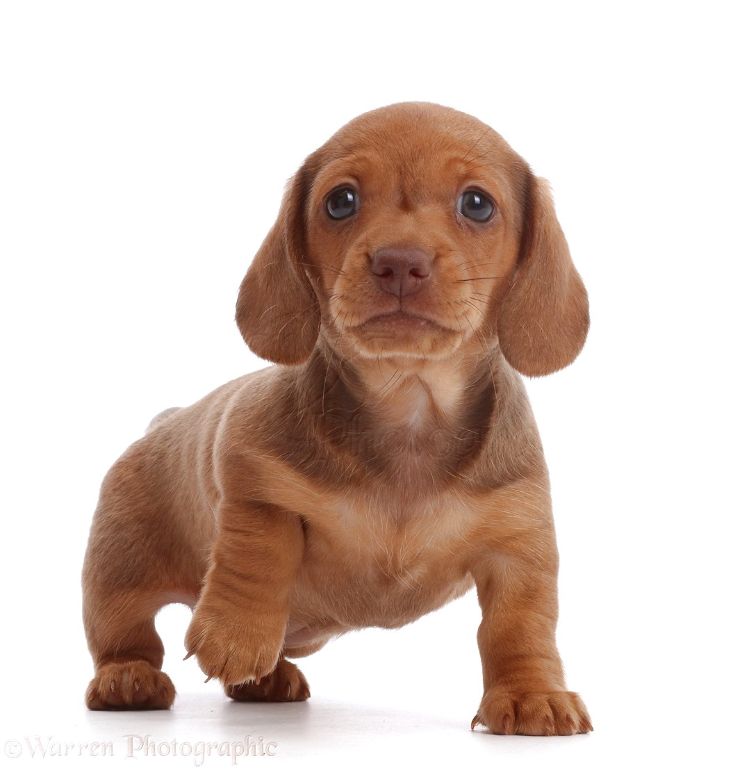 Pictures Of Dachshund Puppies