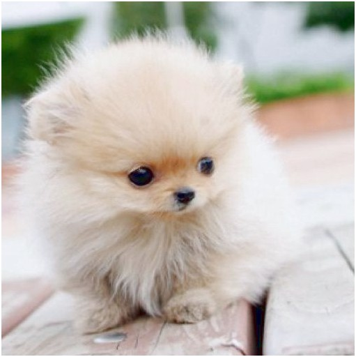 Pomeranian Puppies For Cheap