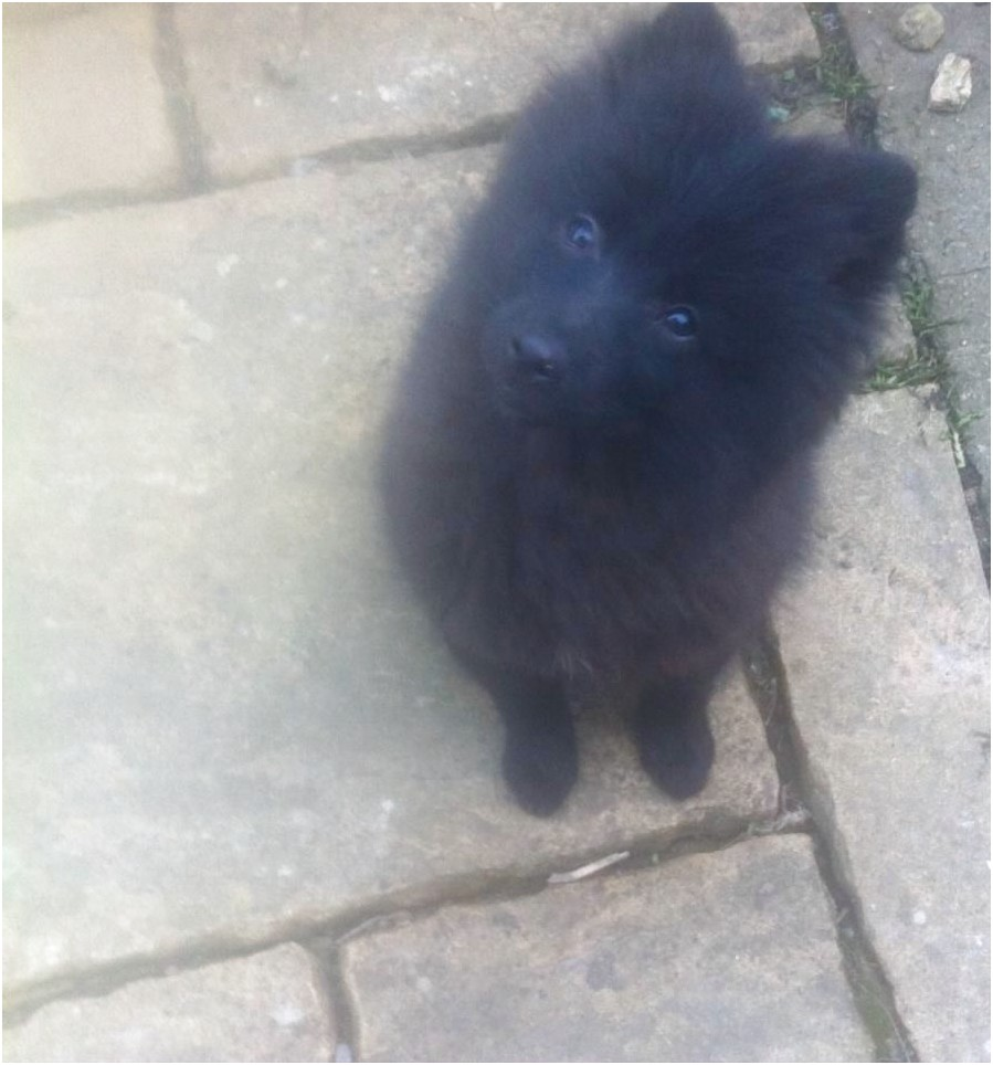 Pomeranian Puppies For Sale Cheap