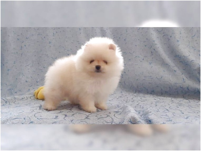 Pomeranian Puppies For Sale In California