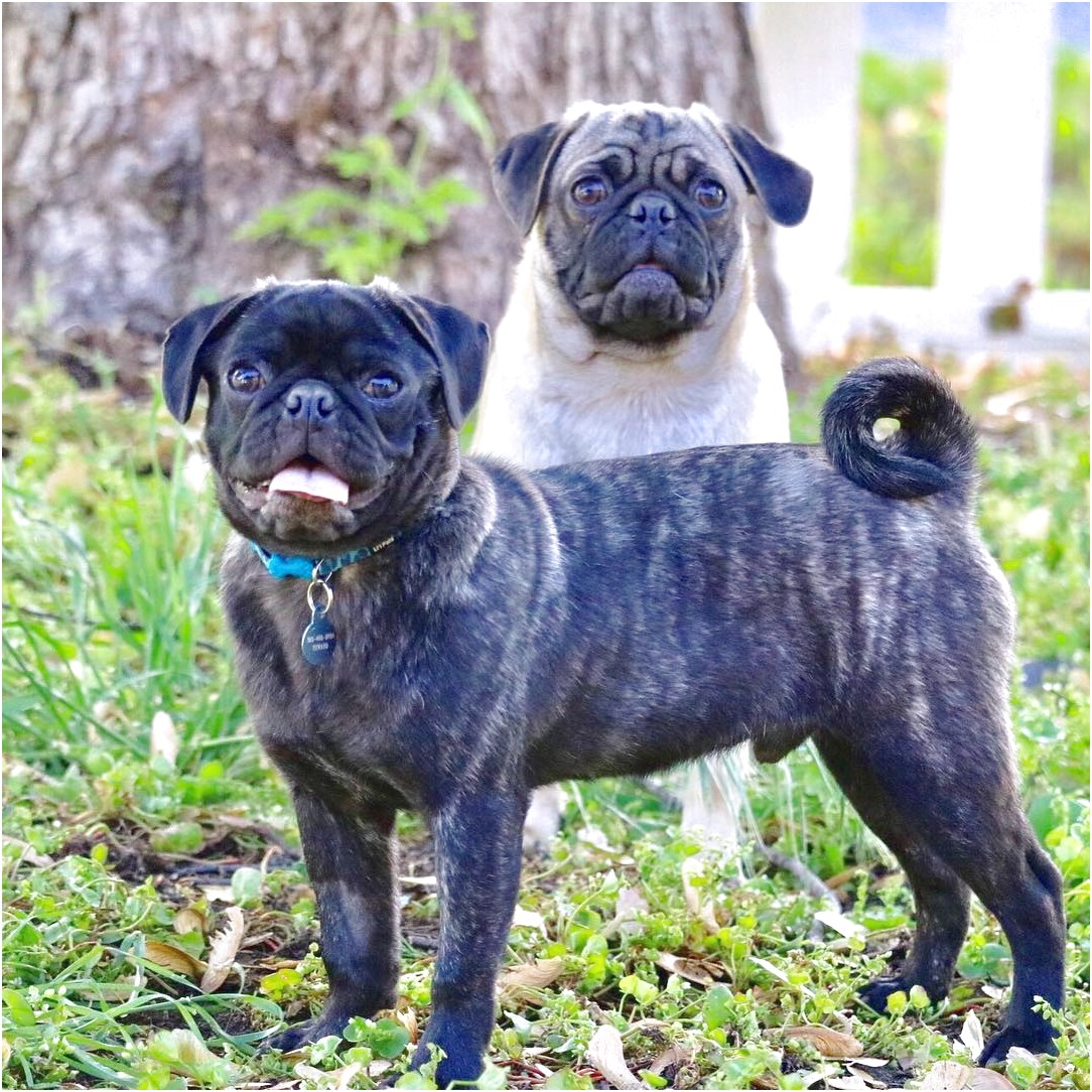 Pugs For Sale Near Me