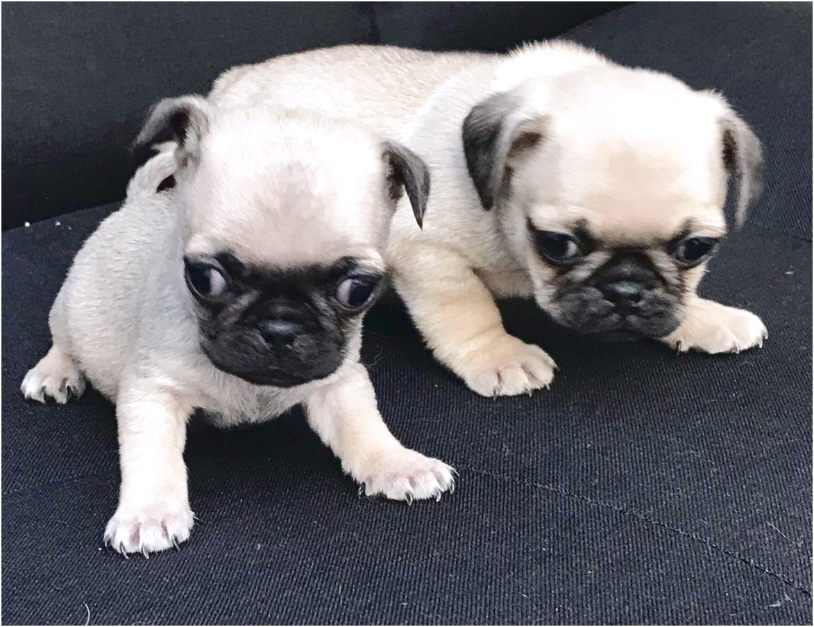 pug breeders in wisconsin pugs for sale wisconsin 1010