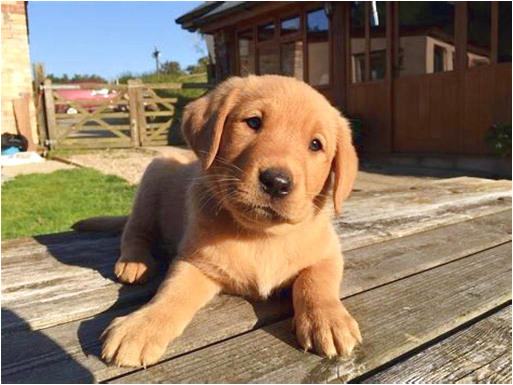 Red Golden Retriever Puppies For Sale Near Me