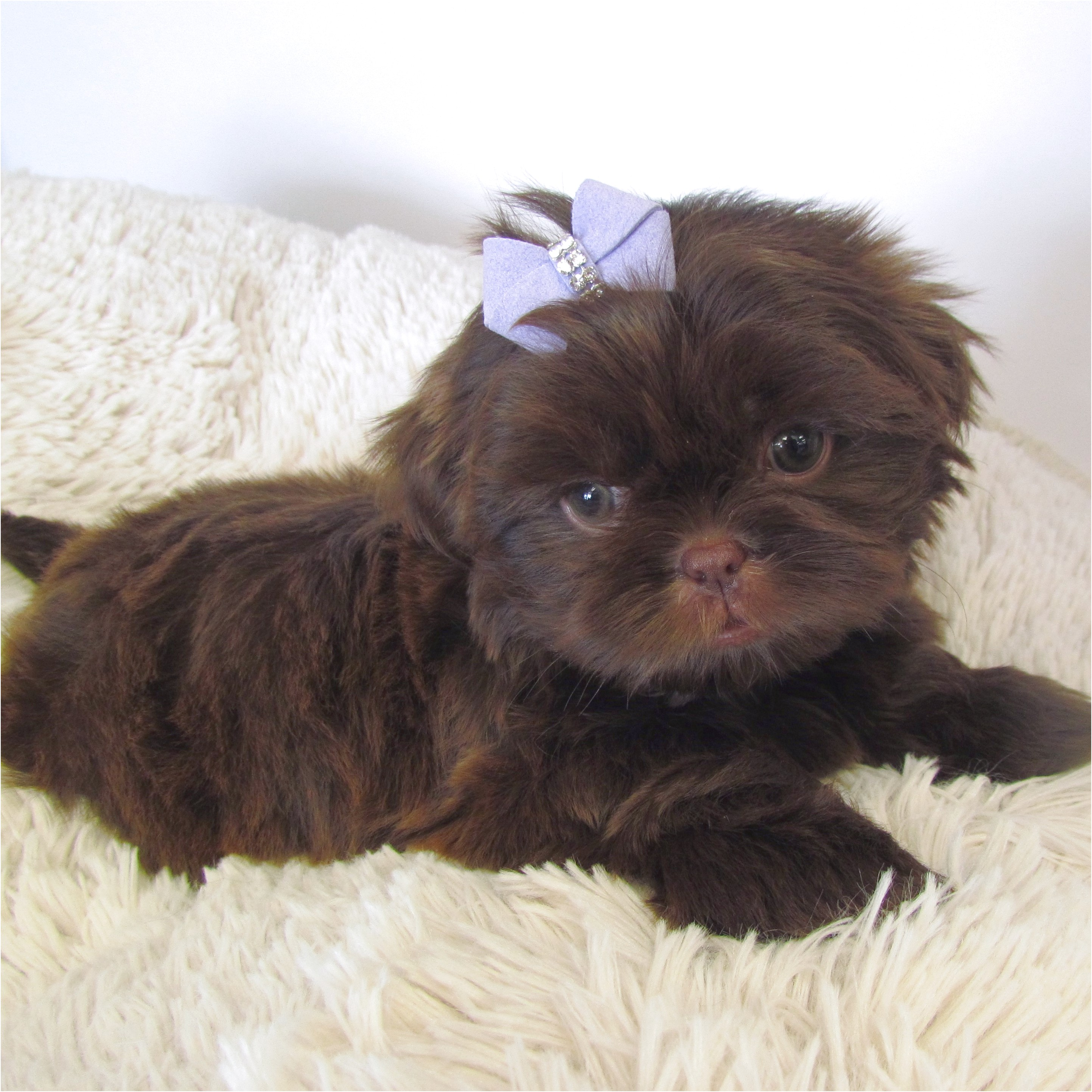 Shih Tzu Puppies For Sale In Florida