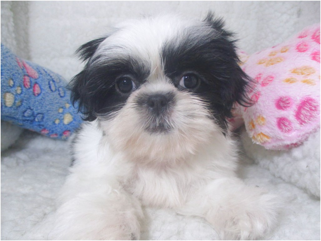 Shih Tzu Puppies For Sale In Nj