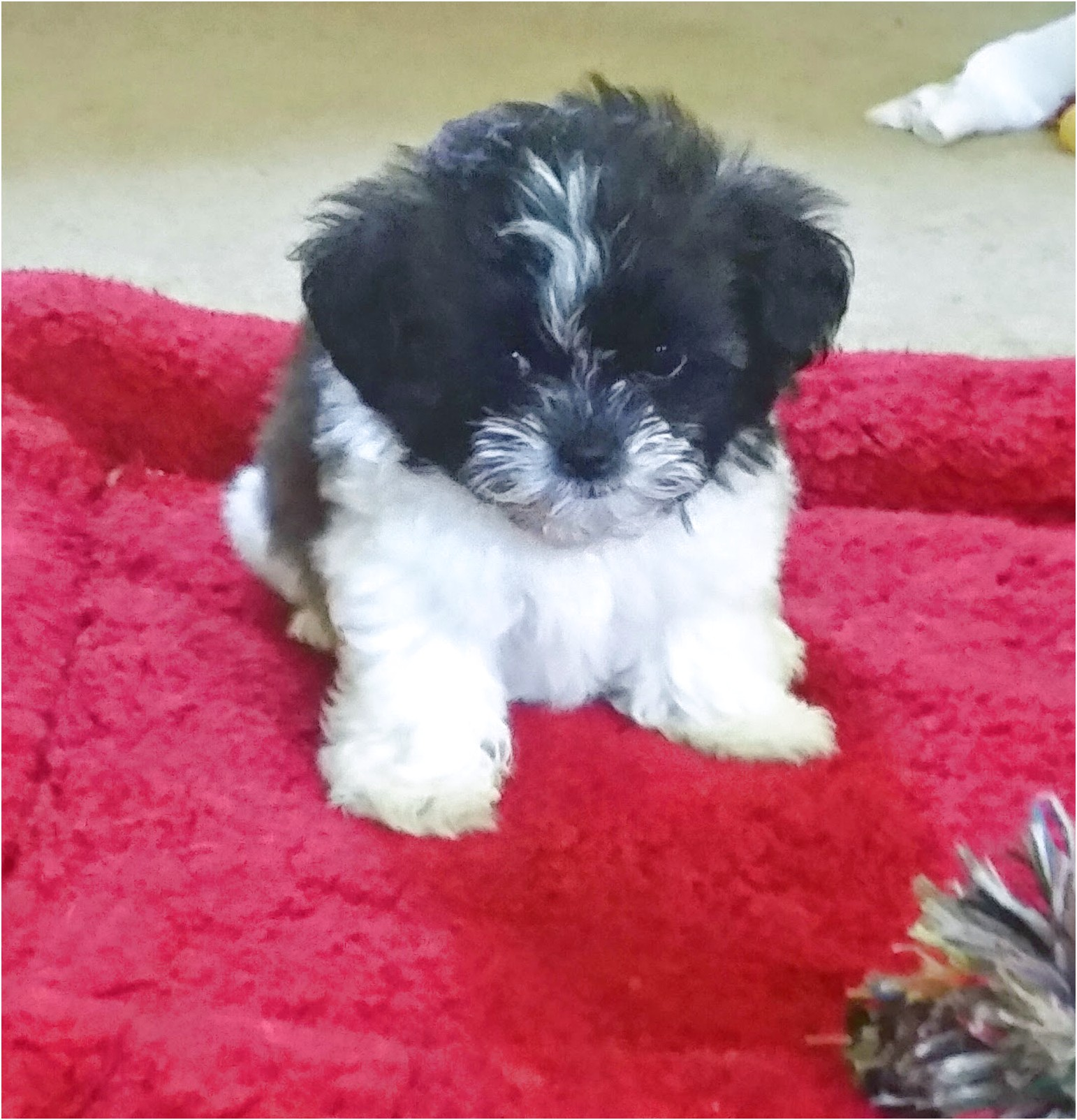 Shih Tzu Puppies For Sale In Ohio