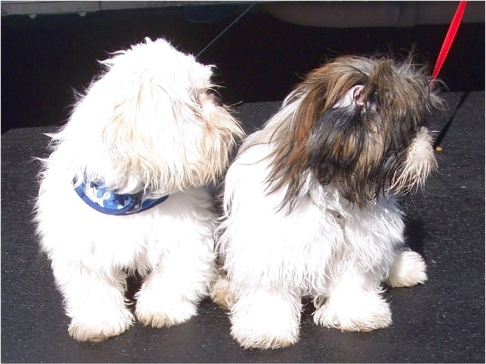 Shih Tzu Puppies For Sale In Texas