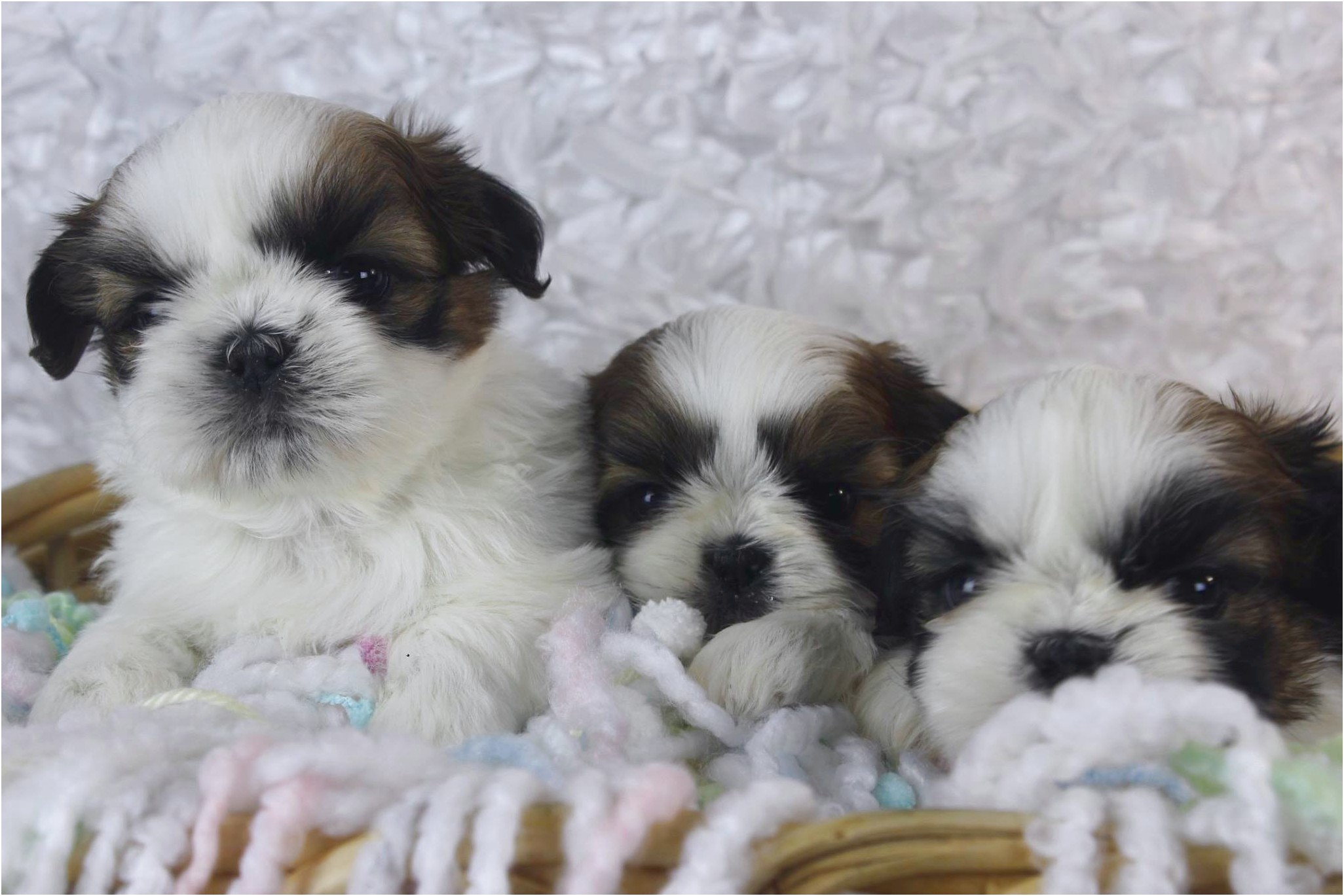 Shih Tzu Puppies For Sale Michigan