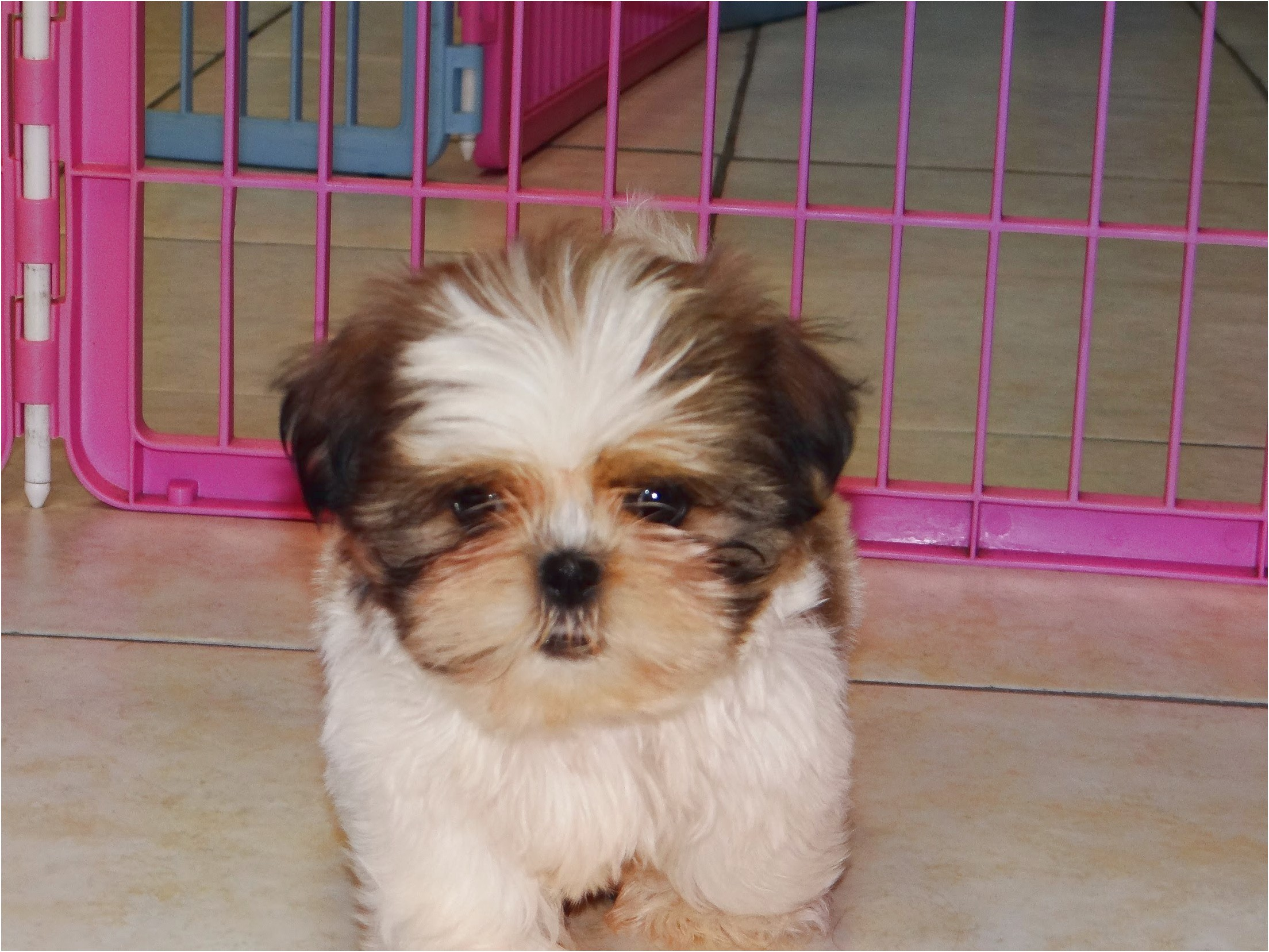 Shih Tzu Puppies For Sale North Carolina