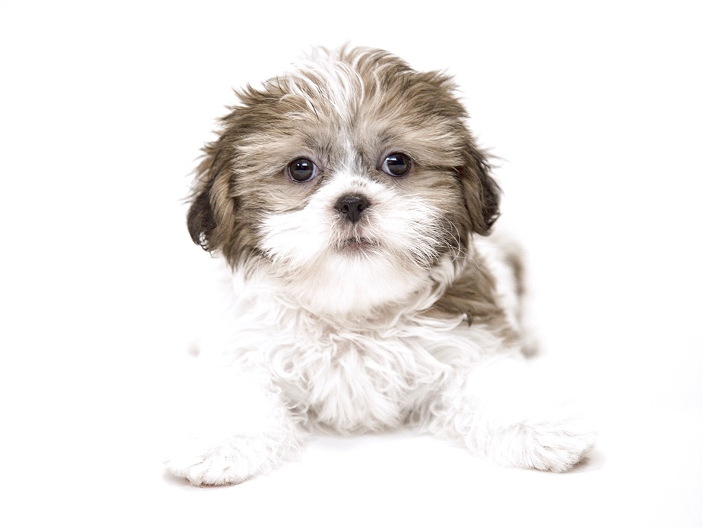 Shih Tzu Puppies In Michigan