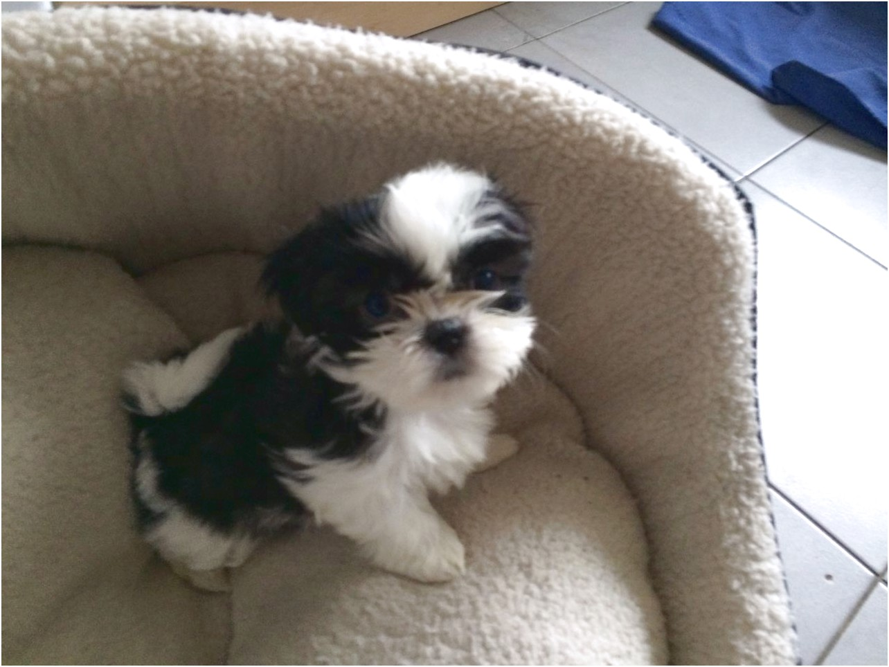 Shih Tzu Puppys For Sale
