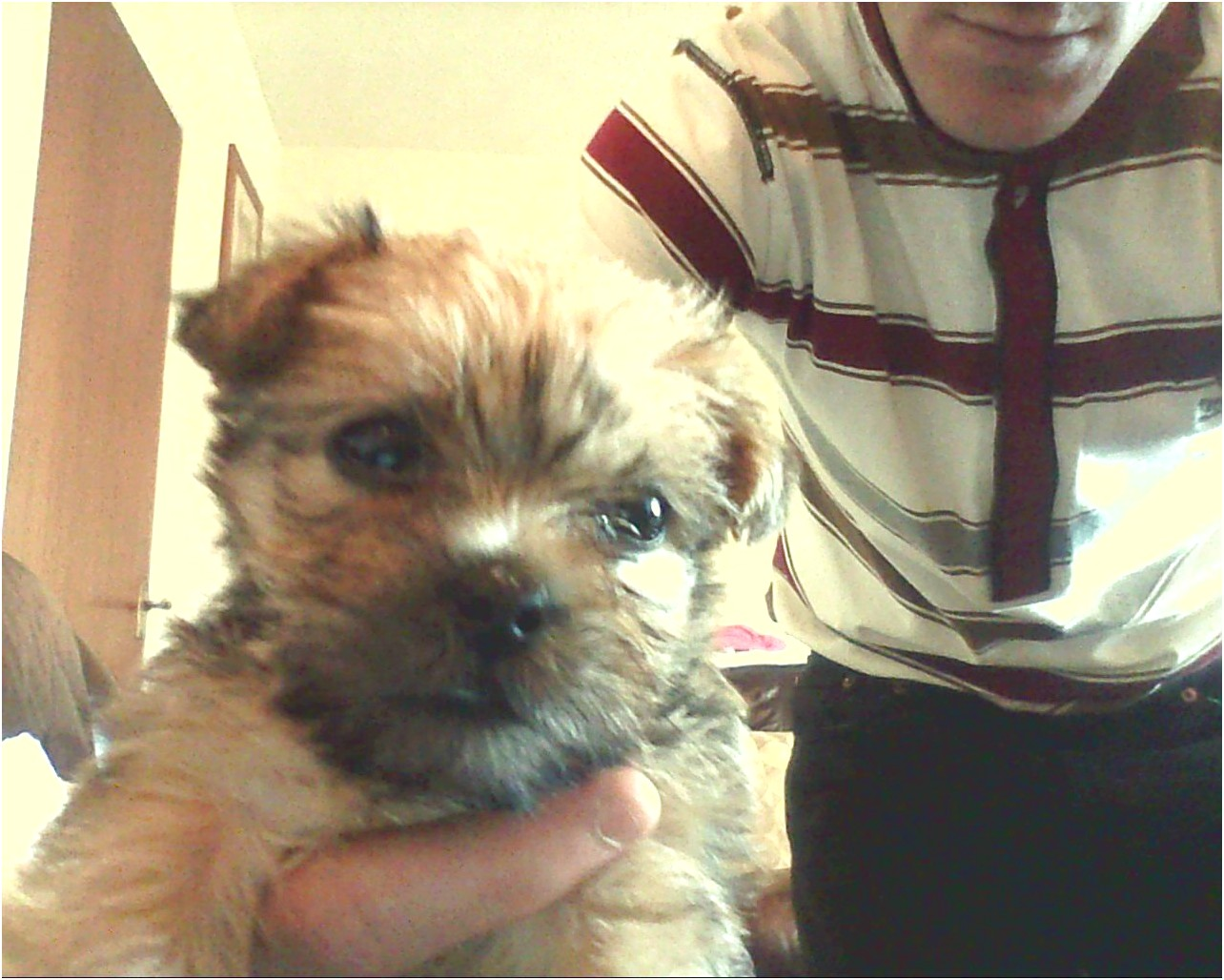Shih Tzu Yorkie Mix Sale