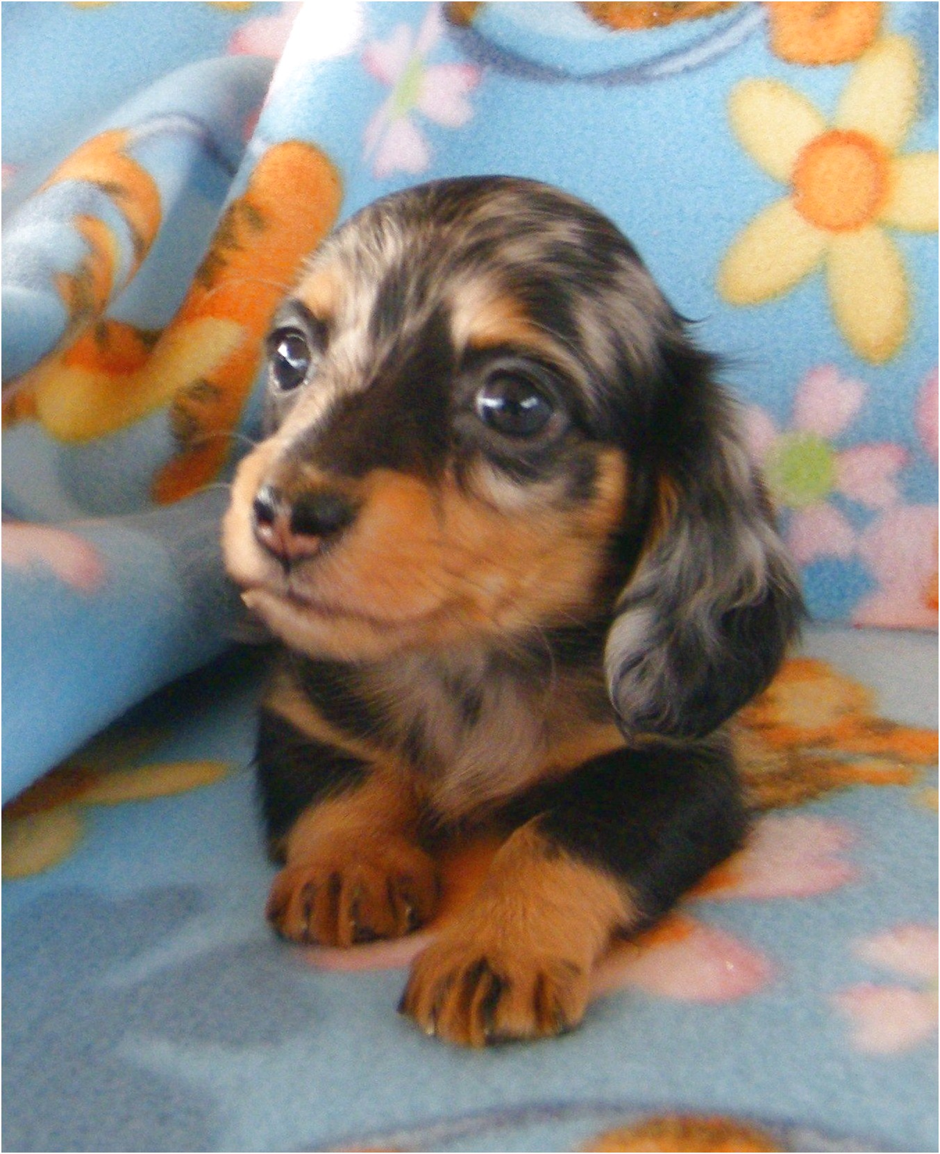 Teacup Dachshund Puppies For Sale
