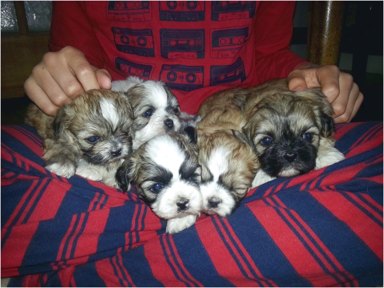 Teacup Shih Tzu For Sale Near Me