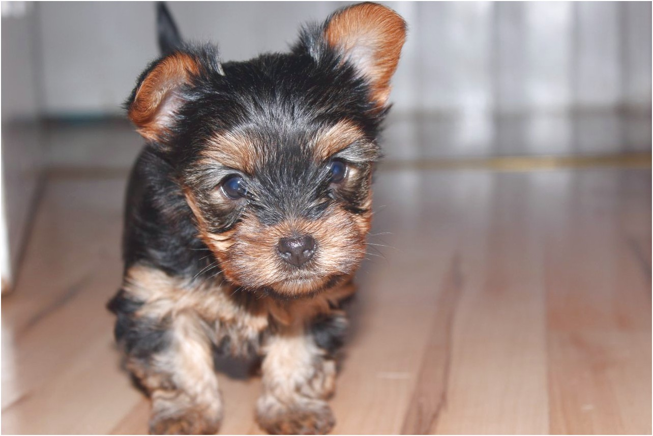 Teacup Yorkshire Terriers For Sale