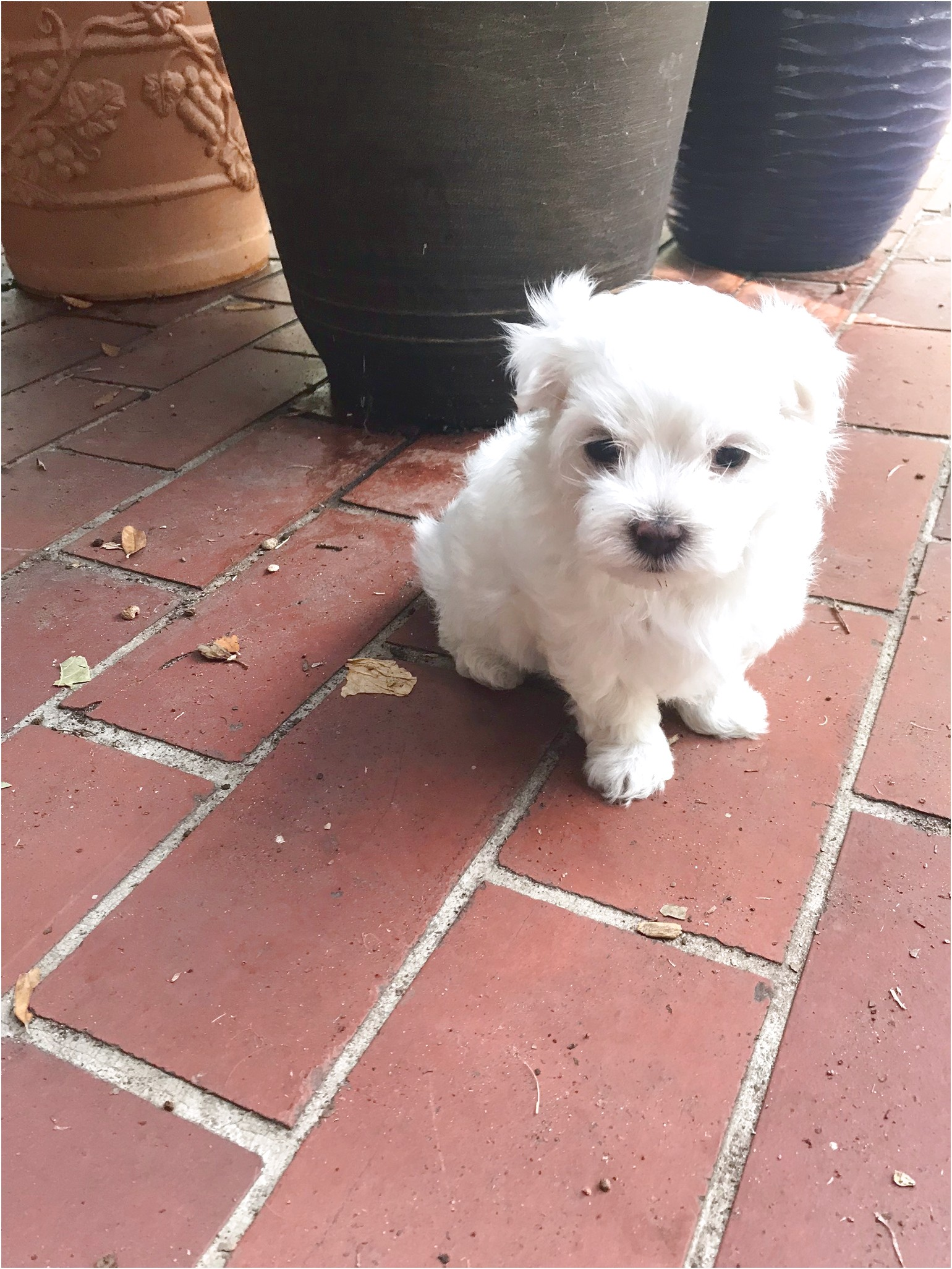 Texas Maltese Puppies For Sale