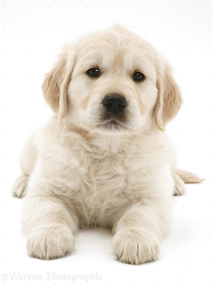 White Golden Retrievers For Sale