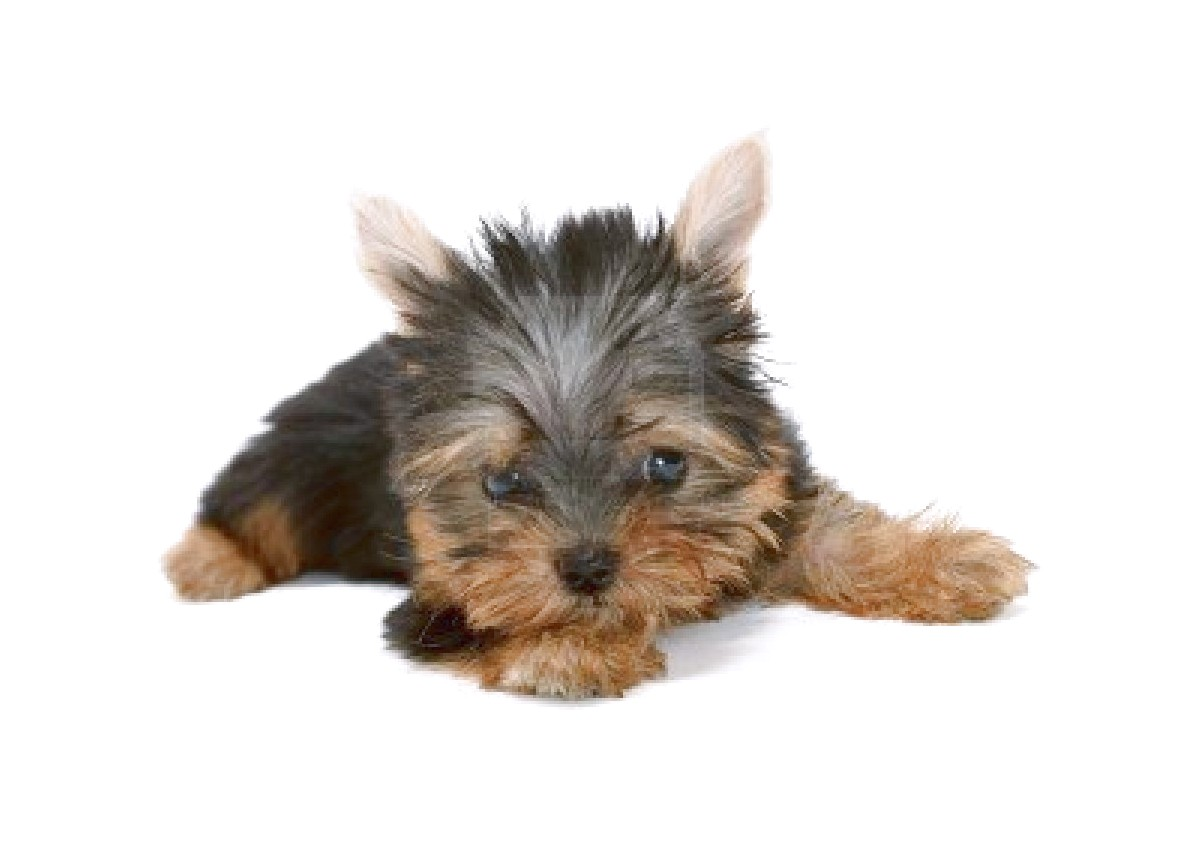 Yorkshire Terrier Adoptions