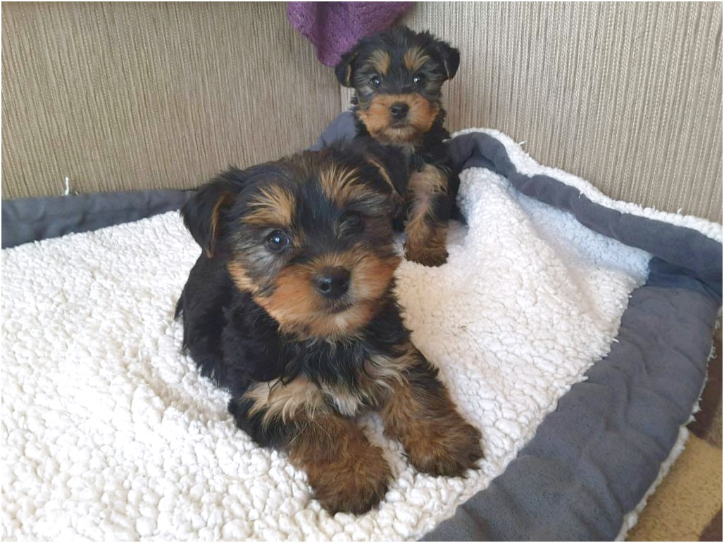 Yorkshire Terriers Pups