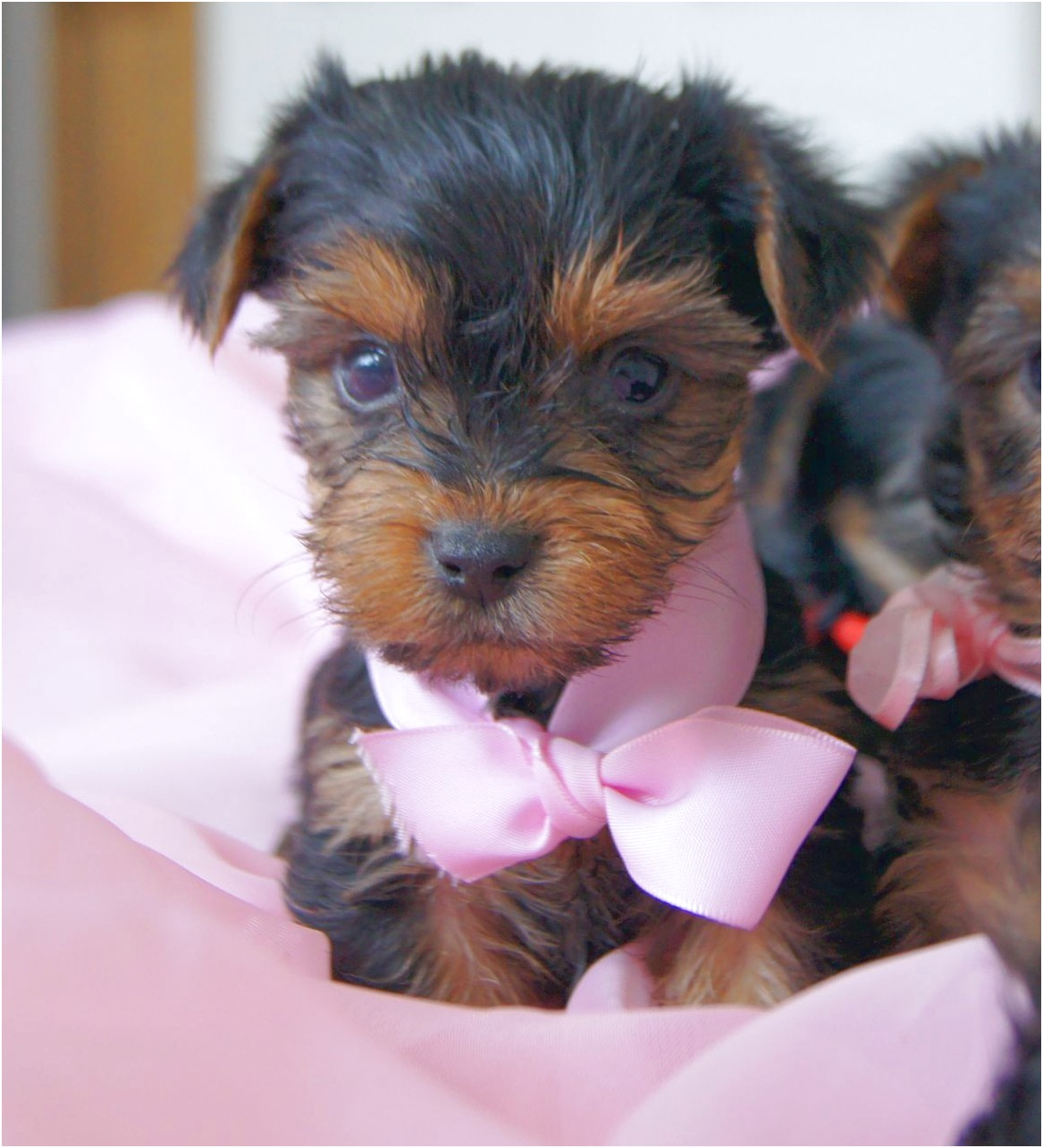 Yorkshire Terriers Teacup For Sale