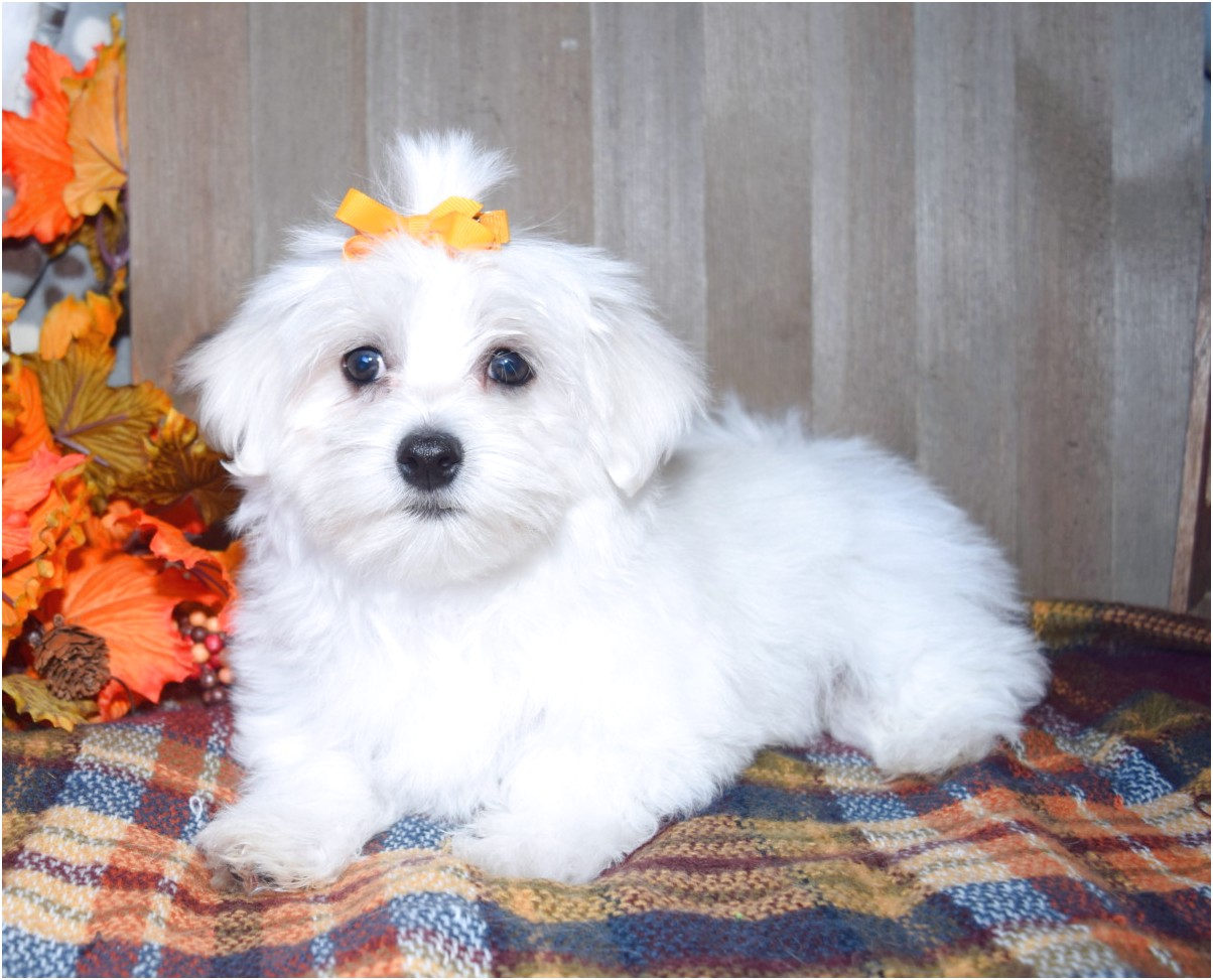 a maltese puppy for sale