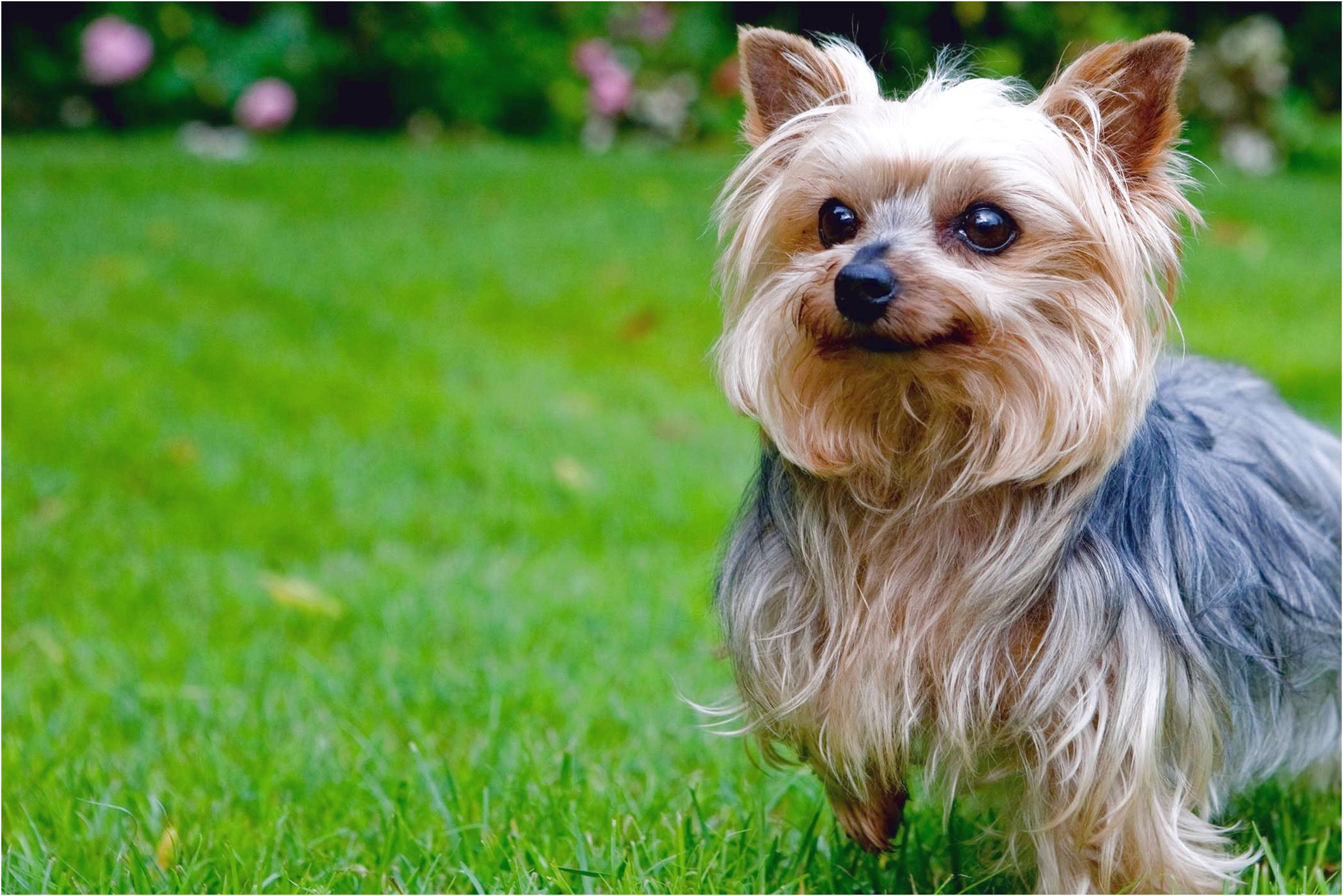 a picture of a yorkshire terrier
