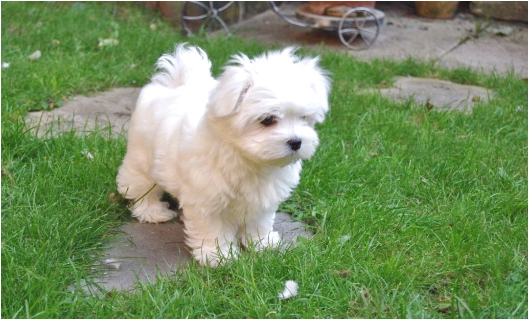 adopt a maltese puppy for free uk
