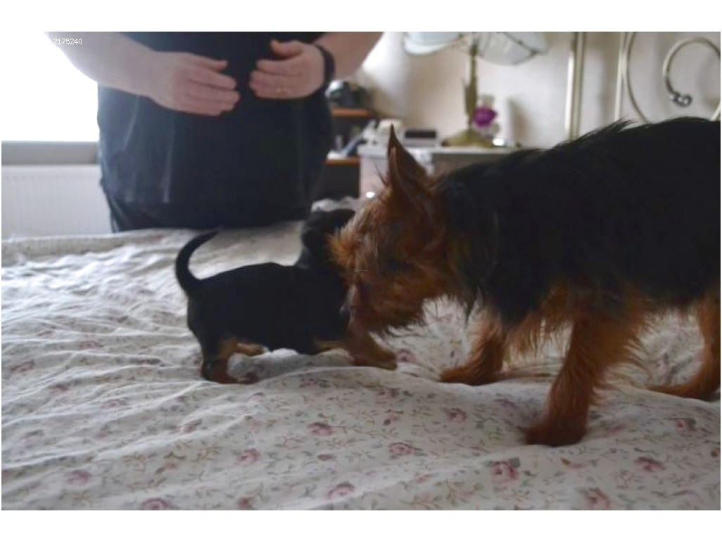 adopt a yorkshire terrier for free