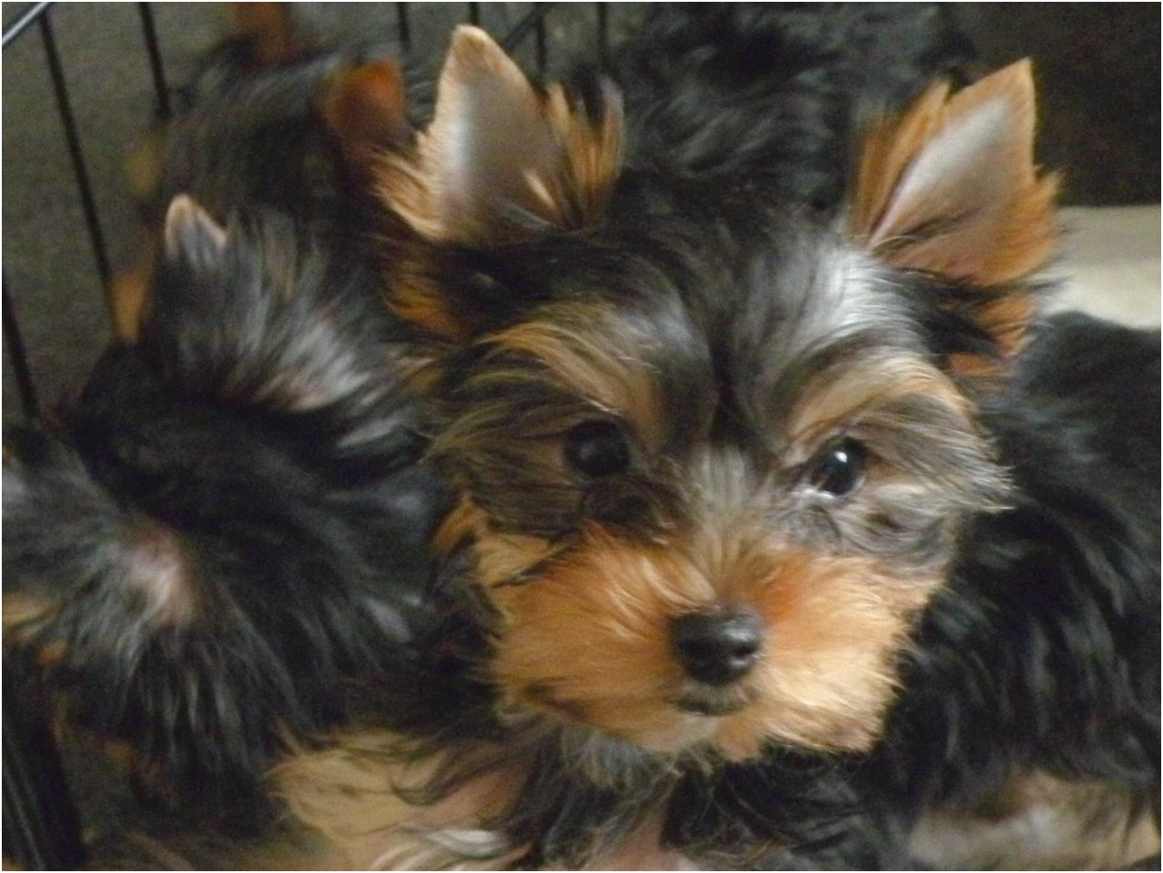 adopt a yorkshire terrier london