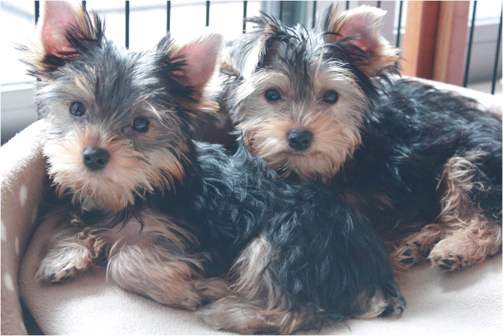 adopt a yorkshire terrier near you