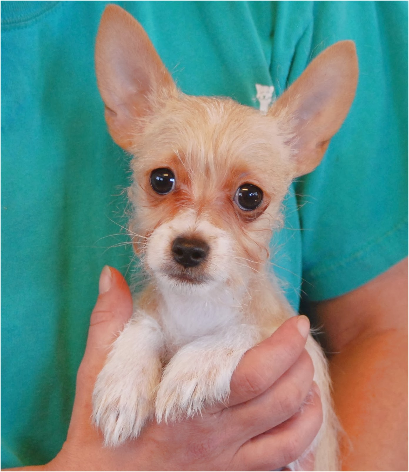 adopting a yorkshire terrier puppy