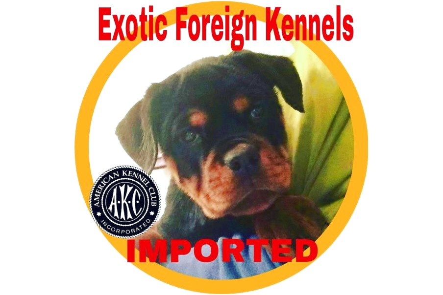 akc german rottweiler puppies for sale florida
