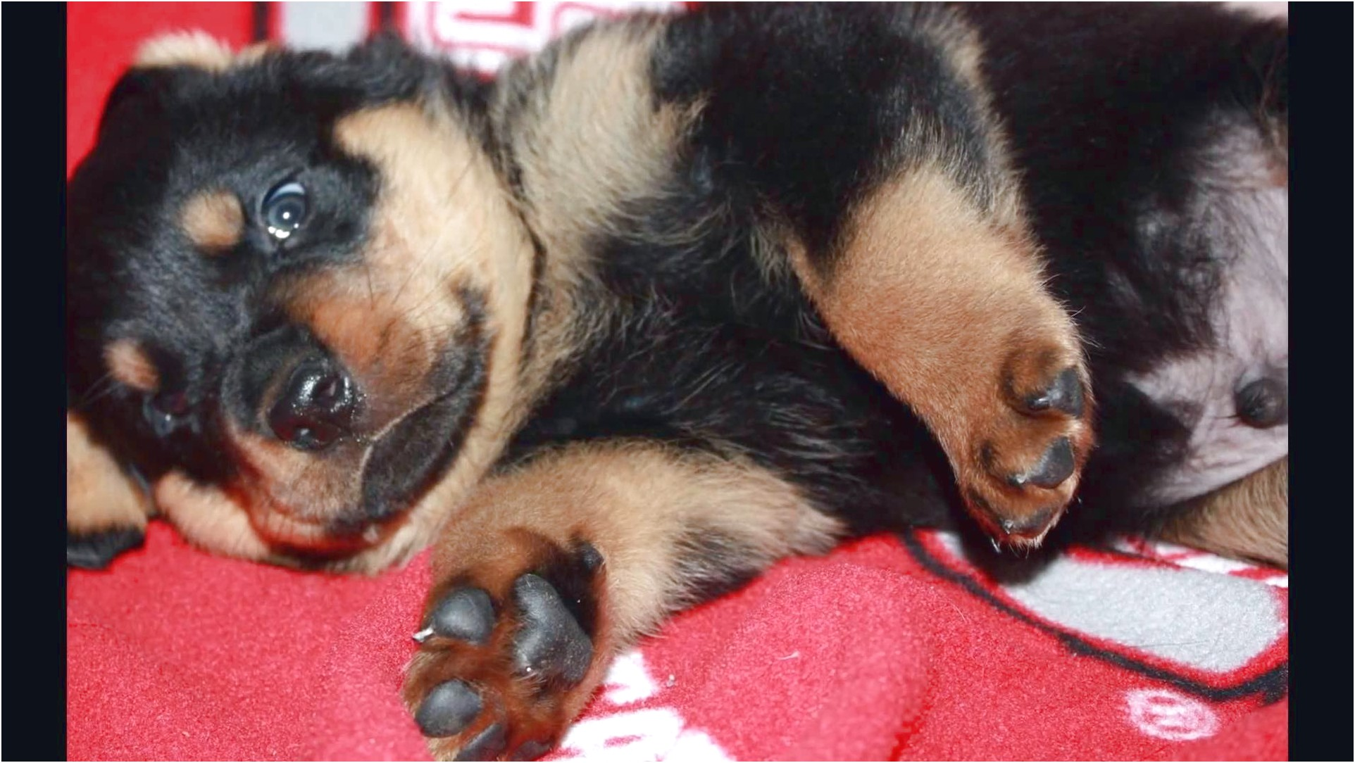 akc registered rottweiler puppies for sale in ohio