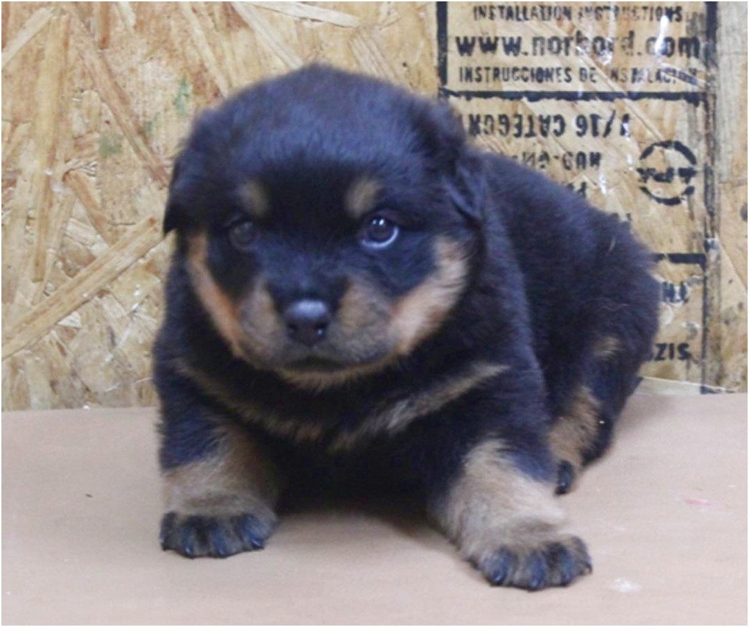 akc rottweiler puppies for sale in ny