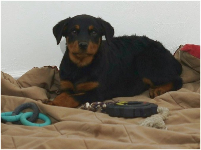 akc rottweiler puppies for sale near me