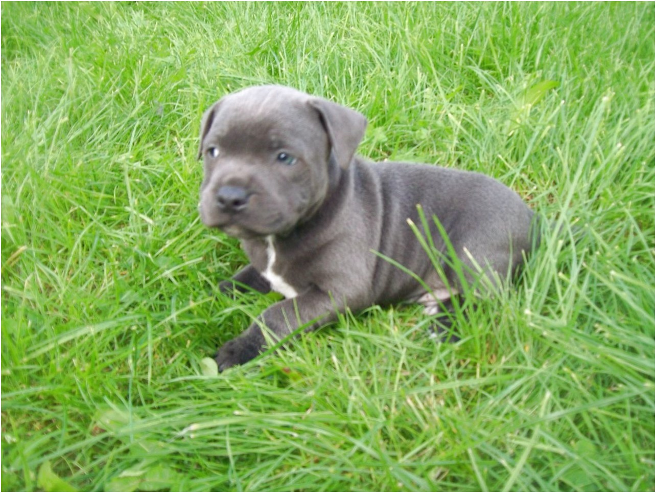american bull terrier puppies for sale uk
