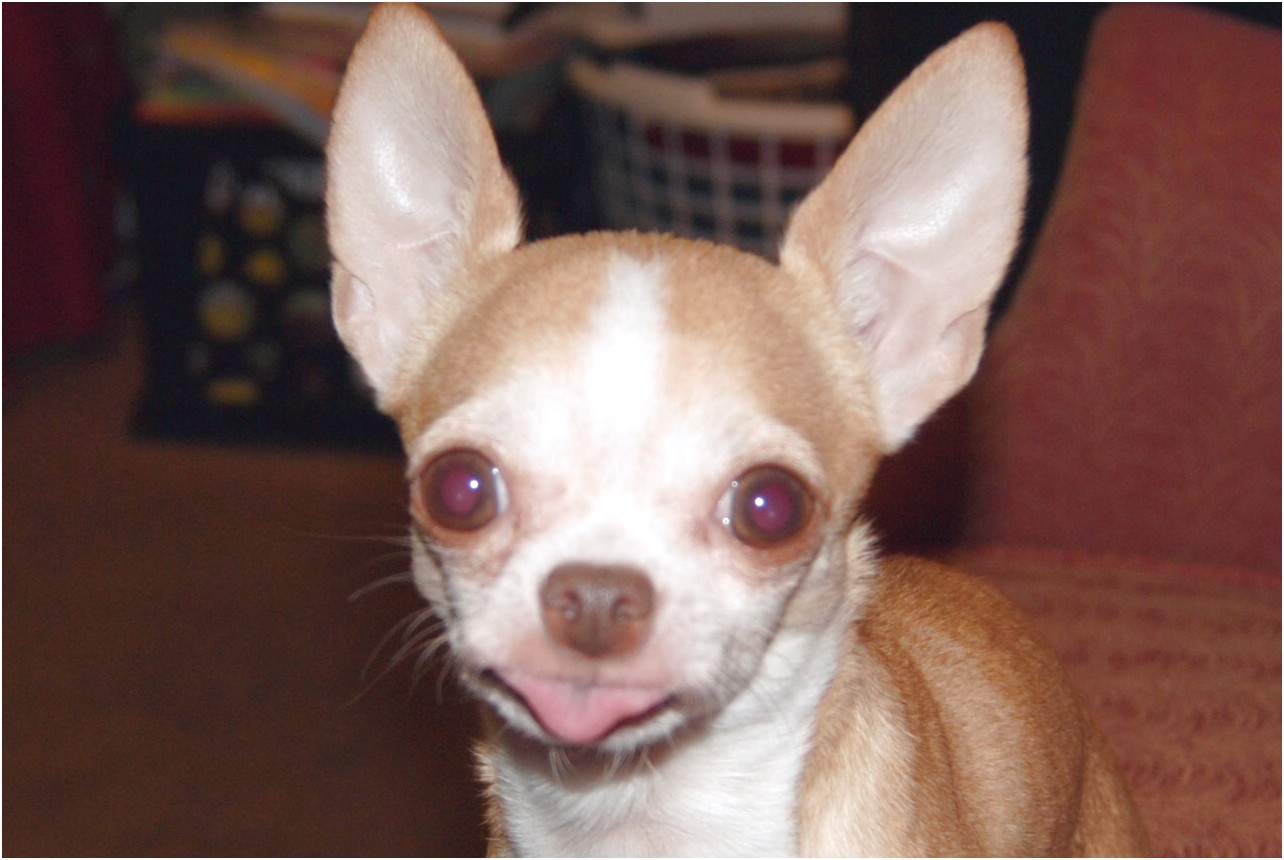 apple head chihuahua puppies for sale in ms