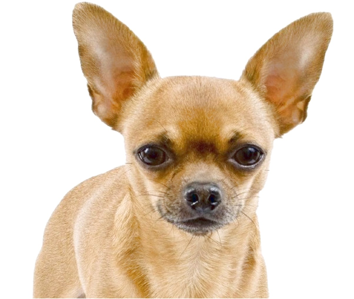 apple head chihuahua puppies for sale in nc