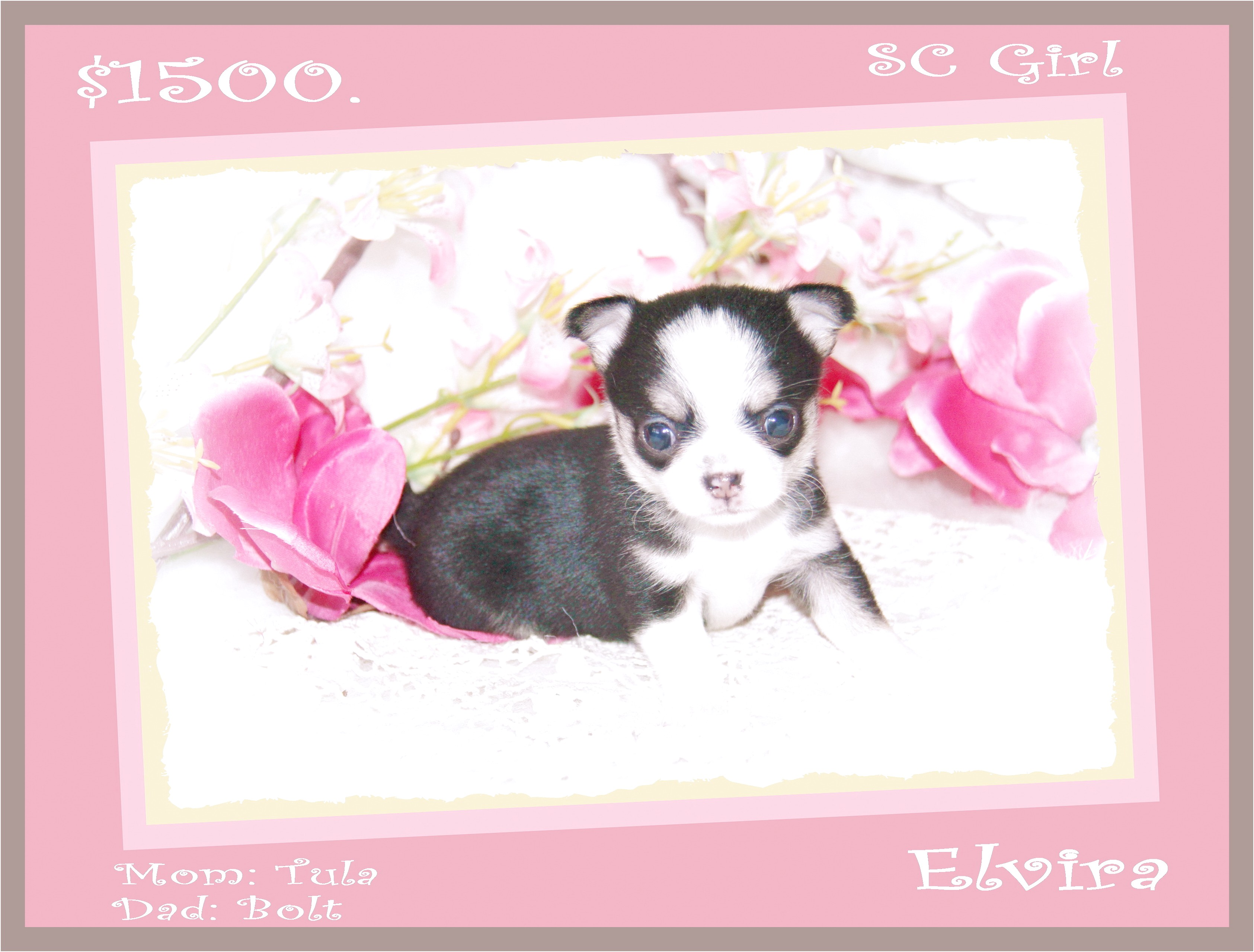 apple head chihuahua puppies for sale ontario