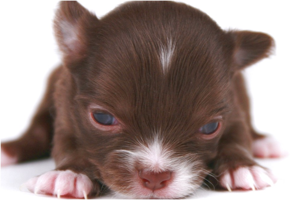 apple head teacup chihuahua puppies for sale